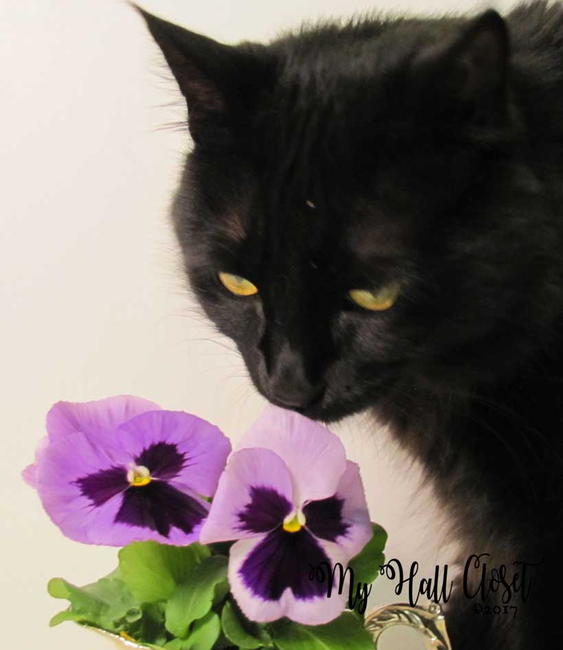 kitty and pansies