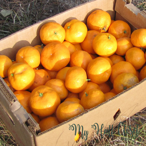 the harvest of Satsumas after pruning the tree
