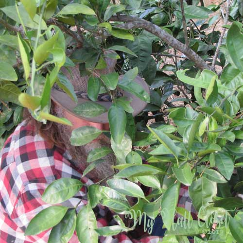 Pruning or stripping of the blooms yeilds more and better fruit