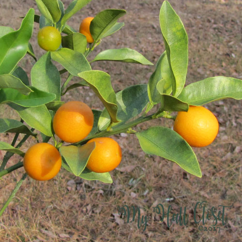 Second year after pruning caused an increase in quality of the Satsumas