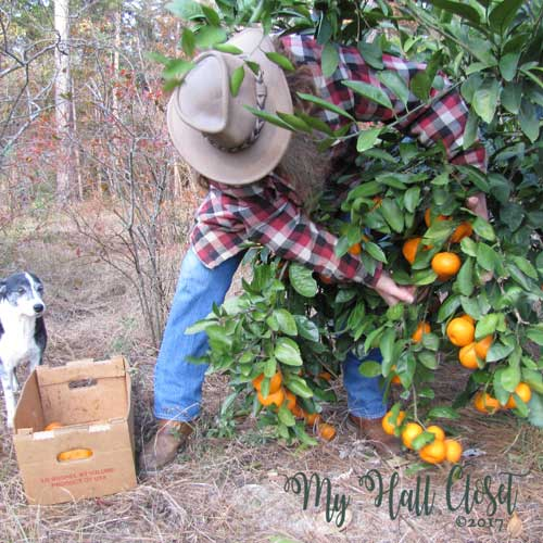 remaining tree is very healthy with an abundance of satsumas.