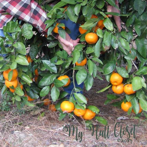 fruit was so plentiful that the lower branches were pulled down to the ground