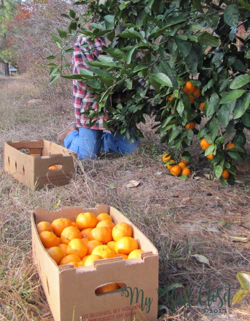 Lots of sweet, delicious satsumas to eat and to share with family and friends