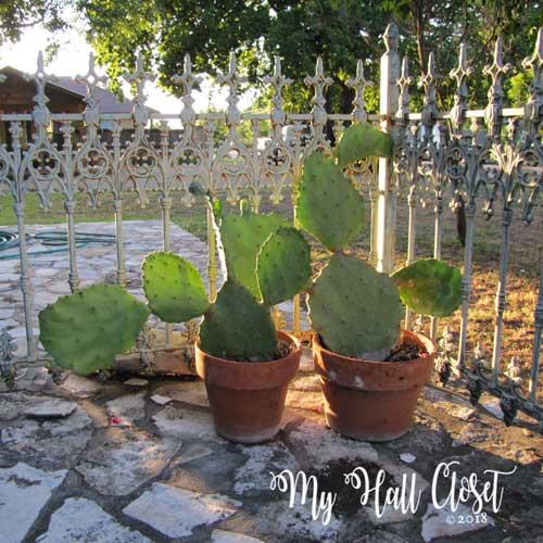 cactus on the patio in Fredericksburg, TX