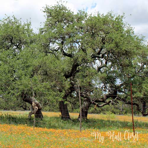 Highway 39 oak tree