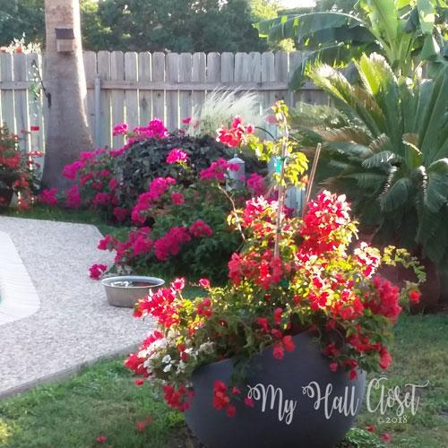 backyard bougainvillea