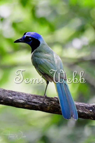 Temi Webb Green Jay Photographing Birds in the Texas Hill Country