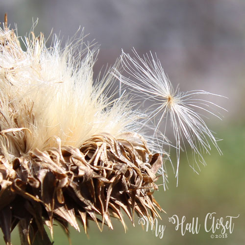 Star thistle seed fly away