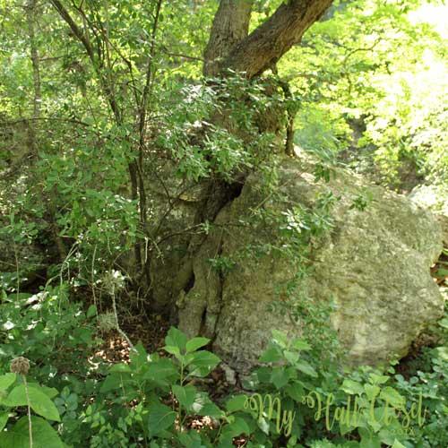 Tree growing in the split rock