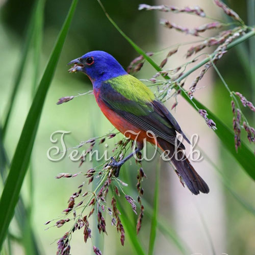 temi's painted bunting